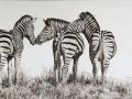 Zebras 3's company II
